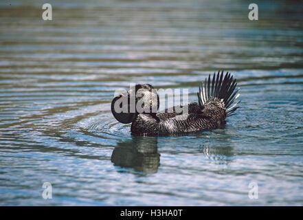 Moschus Ente (Biziura lobata) - Stockfoto