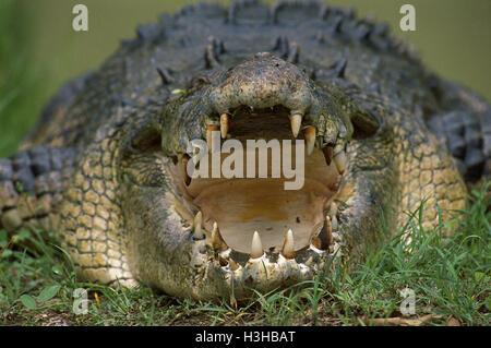 Leistenkrokodil (Crocodylus Porosus) - Stockfoto