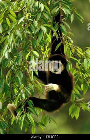 White-handed Gibbon (Hylobates Lar) - Stockfoto