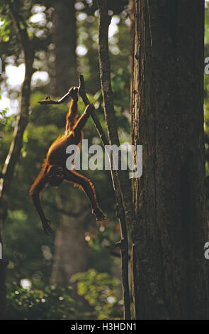 Bornean Orang-Utans (Pongo Pygmaeus) - Stockfoto