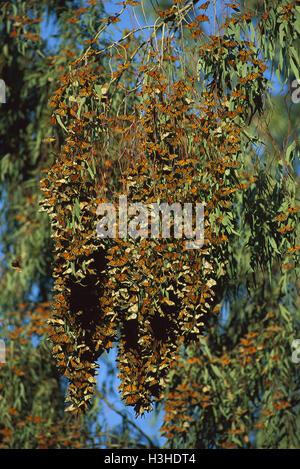 Monarch oder Wanderer Schmetterlinge (Danaus plexippus Plexippus) - Stockfoto