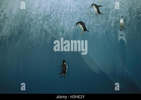 Zügelpinguin (Pygoscelis antarctica) - Stockfoto