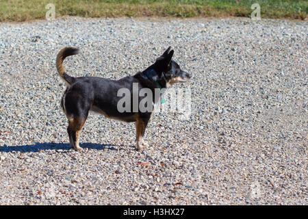 Eine Warnung schwarzen Hund (Corgi Mix) - Stockfoto
