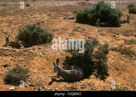 Rote Känguru (Macropus rufus) - Stockfoto
