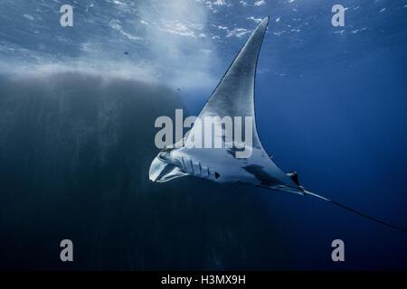 Unterwasser-Blick von Giant Manta Ray, Socorro, Mexiko - Stockfoto