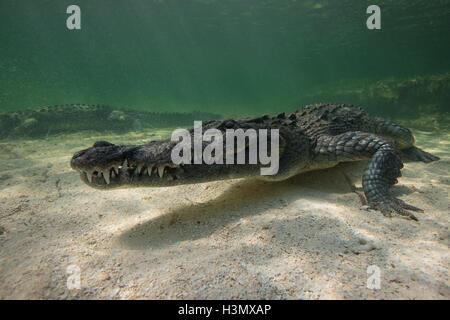 Zwei amerikanische Krokodile (Crodoylus Acutus) in den Untiefen von Chinchorro Atoll, Mexiko - Stockfoto
