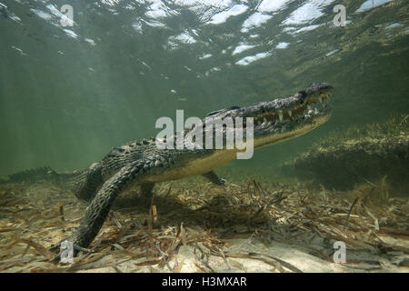 Amerikanisches Krokodil (Crodoylus Acutus) in den Untiefen von Chinchorro Atoll, Mexiko - Stockfoto