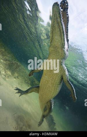 Niedrigen Winkel Blick auf amerikanisches Krokodil (Crodoylus Acutus) in den Untiefen von Chinchorro Atoll, Mexiko - Stockfoto