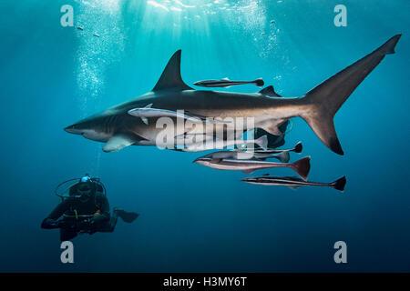 Großen ozeanischen Schwarzspitzen Hai (Carcharhinus Limbatus) kreisenden Taucher, Aliwal Shoal, Südafrika - Stockfoto