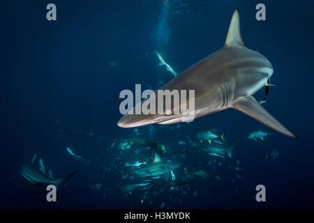 Ozeanische Schwarzspitzen Haie (Carcharhinus Limbatus) Kreisen Köder, Aliwal Shoal, Südafrika - Stockfoto