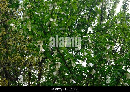 Davidia Involucrata weiße Blumen Blüte Bäume Taschentuch Baum Laub ...