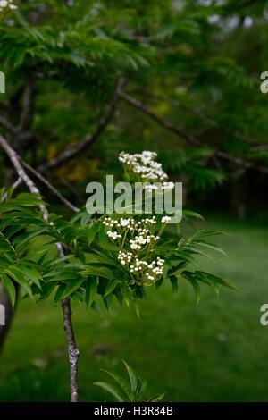 Sorbus Amurensis weiße Blumen Beeren Ebereschen Asche Eberesche ...