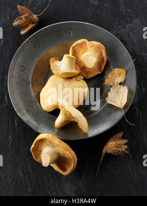 Frisch gepflückt Wiild organischer Pied de Mouton Pilze (Hydnum Repandum) oder Igel Pilze - Stockfoto