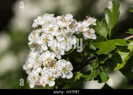 Weißdorn-weißen Blüten-Makro im Frühjahr Stockfoto, Bild: 103897916 ...
