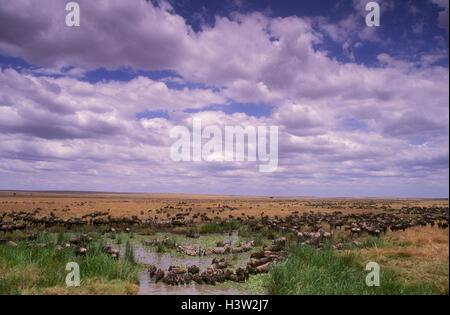 Gnus (Connochaetes Taurinus) - Stockfoto