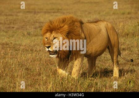 Afrikanischer Löwe (Panthera Leo) - Stockfoto