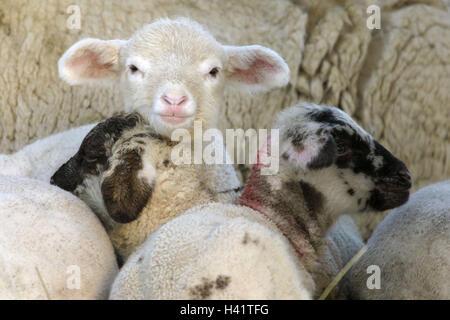 Merino-Schafe, Lämmer, Detail, - Stockfoto