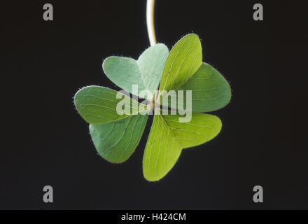 4-blättrige Kleeblatt Pflanze, ornamentale Klee, Trifolium, Faboideaes, Klee, 4-blättrig, Blätter, grün, vierblättrigen - Stockfoto