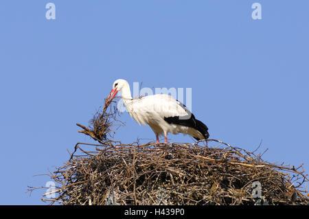 Weißstorch, Ciconia Ciconia, nest bauen, - Stockfoto