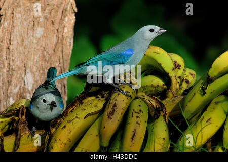 Blau-graue Tananger paar (Thraupis Episcopus), sitzen auf Bananen, Orange Walk District, Belize - Stockfoto