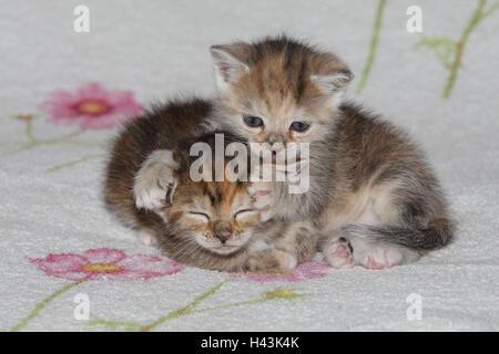 Katzen, junge, liegen, kleben, sauber, liebevoll, Bett, Tiere, Säugetiere, Haustiere, kleine Katzen, Felidae, zähmt, - Stockfoto