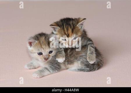 Katzen, junge, liegen, gemeinsam, müde, Bett, Säugetiere, Haustiere, Tiere, kleine Katzen, Felidae, zähmt, Haus Katze, Jungtier, Kätzchen, zwei Geschwister, klein, ungeschickt, unbeholfen, hilflos, süß, kriechen, es kuscheln, gestreift, Liebe, Naht, Zweisamkeit, jungen Tieren, tierischen Baby innen,