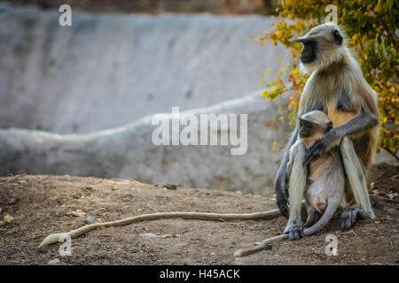 Eine wilde Languren-Affen-Familie in einem Nationalpark in Indien - Stockfoto
