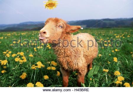 Coburger Fuchs Schaf, Lamm, Blumenwiese, Löwenzahn, isst, Tier, Säugetier, Nützlichkeit Tier, Vieh, Schafe, kleine, - Stockfoto