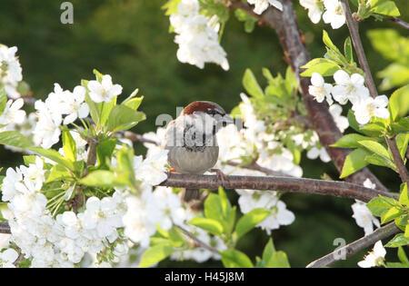 Haussperling sitzt auf Kirsche Zweig, - Stockfoto