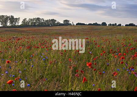 Feld mit Mohnblumen bei Sonnenuntergang in der Nähe von Mirow, Mecklenburg Western Pomerania, Deutschland - Stockfoto
