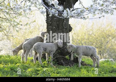 Wiese, Schafe, junge Tiere grasen, - Stockfoto
