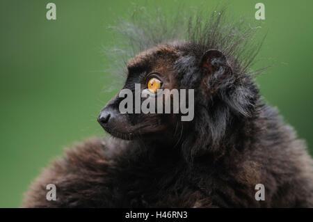 Schwarze Lemur, Eulemur Macaco, Männlich, Porträt, Seitenansicht, Blick über die Schulter, Fokus auf den Vordergrund, - Stockfoto
