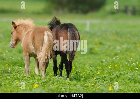 Welsh Ponys auf Wiese, Ansicht von hinten, - Stockfoto
