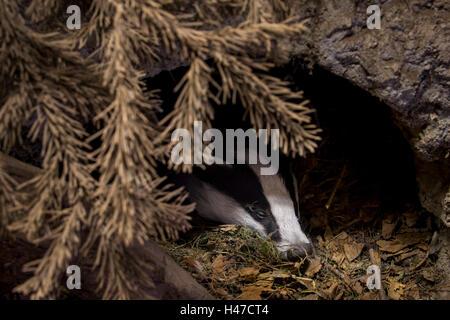 Europäischer Dachs (Meles Meles) in Höhle schlafen / Sett im Nadelwald - Stockfoto