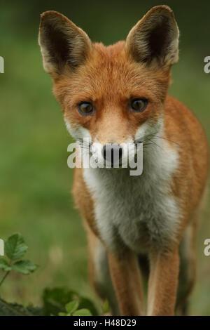 Ein Jagd-Fuchs (Vulpes Vulpes). - Stockfoto