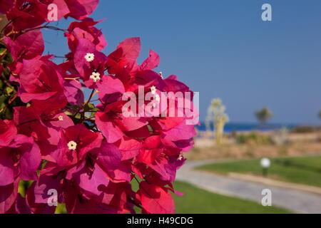 Trauerweiden am Strand, Blüten, mittlere Nahaufnahme, Griechenland, Kreta, - Stockfoto