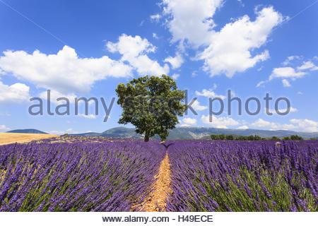 Alten Mandelbaum, Prunus Dulcis, im Lavendelfeld, - Stockfoto