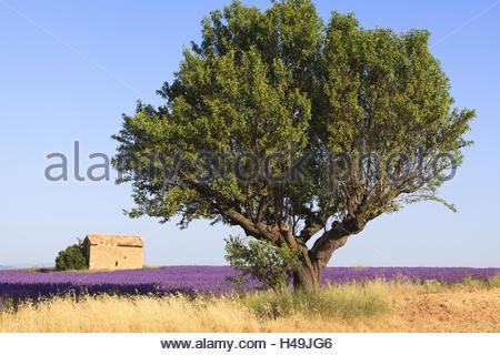 Mandelbaum, Prunus Dulcis, in einem Lavendelfeld mit alten Steinhaus, - Stockfoto