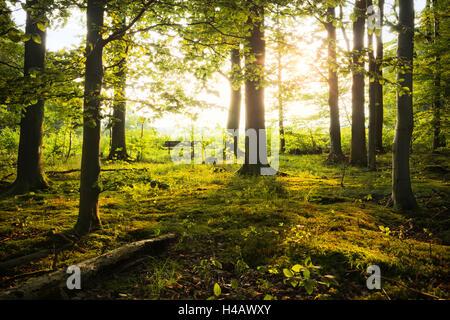 Deutschland, Bayern, Augsburg Westliche Wälder Naturpark, Licht, Holz, Sommer, grün, Stimmung, Sonnenuntergang, - Stockfoto