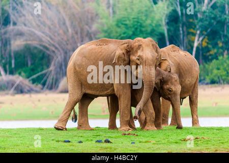 Familie des asiatischen Elefanten oder indischen Elefanten (Elephas Maximus), Kabini Fluß, Nagarhole Nationalpark, - Stockfoto