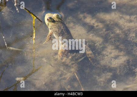Young American Bullfrog, (Lithobates Catesbeianus), Rio Grande Nature Center State Park, Albuquerque, New Mexico, - Stockfoto