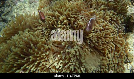 Clownfische Porträt während man Sie von Anemone Tentakeln - Stockfoto