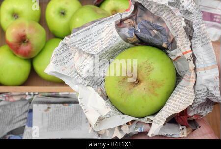 Frische, makellose Bramley-Äpfel (Malus Domestica Bramley Keimling) sind einzeln verpackt in Zeitung bereit für - Stockfoto