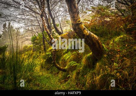 Magische Silber Birken an einem glitzernden Morgen im Nebel - Stockfoto