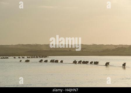 Blaue Gnus durchqueren Lake Ndutu in der Wanderung der Gnus (Connochaetes Taurinus), Serengeti Nationalpark, Tansania - Stockfoto
