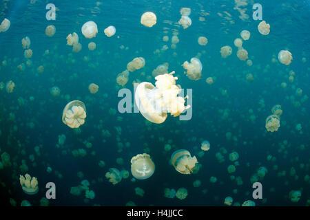Jellyfish Lake mit endemischen stachellosen entdeckt Gelee oder Lagune Gelee (Mastigias Papua Etpisonii), Palau, Mikronesien, Pazifik