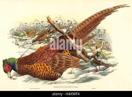 John Gould und W. Hart, Brite/Britin (aktive 1851-1898), Phasianus Colchicus (Ring – Necked Fasan), handkolorierten - Stockfoto