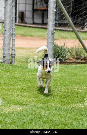 Schwarz weiß getupft Jack Russel entspannend, Südafrika