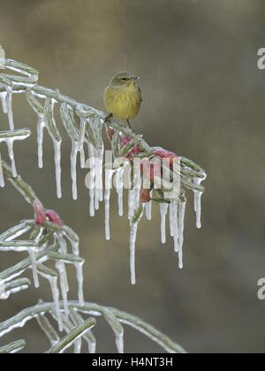 Orange-gekrönter Warbler (Vermivora Celata), Erwachsener thront auf eisigen Zweig der Weihnachten Cholla (Cylindropuntia - Stockfoto