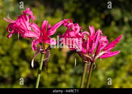 "Rot-rosa Blüten der kräftig, Herbst blühenden Hybrid südafrikanischen Lampe, Nerinen ""Riesen Eifer"" - Stockfoto"